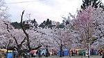 Muramatsu park Sakura.JPG