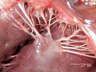 Papillary muscle - Image: Muscolopapillare+cor detendinee