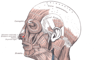 Dilator naris muscle - Muscles of the head, face, and neck.