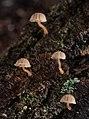 Mycena corticola (Pers.) Gray 823778.jpg