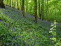 NSG Gillenbusch Hasenglöckchen (Hyacinthoides) 1 DE-NW.jpg