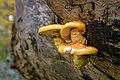 NSG Rotwildpark Stuttgart 2015 02 Unidentified fungus.jpg
