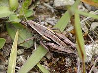 NZAcrididae18.JPG