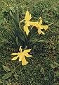 Narcissus bicolor var. concolor2.jpg