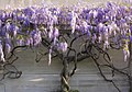 National Gallery of Art with Wisteria on Wall.jpg