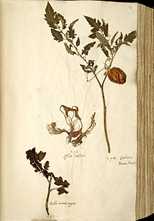Plant collecting wikipedia a tomato plant collected in the 1540s ccuart Image collections