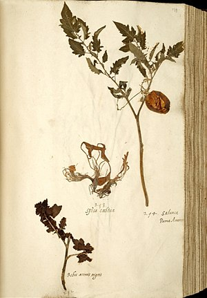 Tomato - Solanum lycopersicum var. lycopersicum. Sheet from the oldest tomato collection of Europe, 1542–1544. Naturalis Leiden.