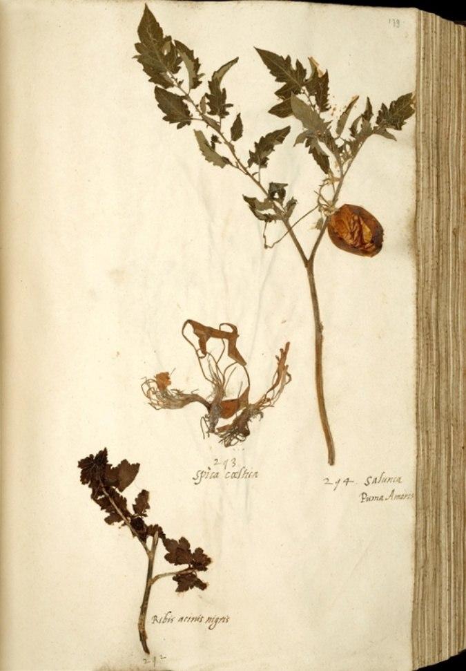 Naturalis Biodiversity Center - Solanum lycopersicum var. lycopersicum - old tomato herbarium sheet