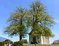 Naturdenkmal St Johanner Kirchenlinden in Villach 2.JPG