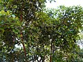Nelthare (Kannada- ನೆಲ್ಥರೆ) (3093371616).jpg