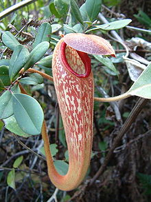 Nepenthes klossii upper pitcher.jpg