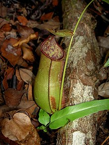 Nepenthes x cantleyi.jpg