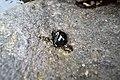 Neritidae Snail.jpg