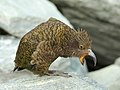 Nestor notabilis -Mount Aspiring National Park, New Zealand-8 (3).jpg