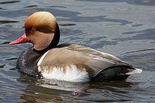 Netta rufina -Bushy Park, London, England -swimming-8.jpg