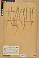 Neuchâtel Herbarium - Alyssum alyssoides - NEU000021934.jpg