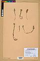 Neuchâtel Herbarium - Alyssum alyssoides - NEU000021951.jpg