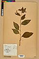 Neuchâtel Herbarium - Impatiens noli-tangere - NEU000019956.jpg