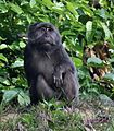 Nicobar Long-tailed or Crab-eating Macaque (Macaca fascicularis umbrosa).jpg