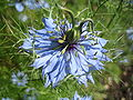 Nigella damascena 2007.jpg