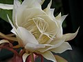 Night Blooming Cereus (Epiphyllum oxypetalum).jpg
