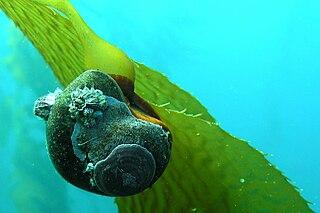 <i>Norrisia norrisii</i> species of mollusc