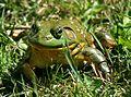 North-American-bullfrog3.jpg