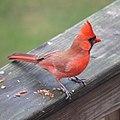 Northern Cardinal (5209801197).jpg