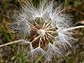 Nothocalais cuspidata (3287846406).jpg