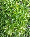 Nothofagus pumilio, foliage.jpg
