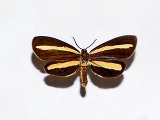 <i>Josia</i> genus of insects