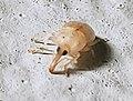 Notolomus basalis Oakland Park FL 02.jpg