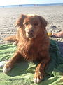 Nova Scotia Duck Tolling Retriever's love swimming and will help there joints (16 years old).jpg