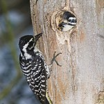 Nuttall's-woodpecker-family K.jpg