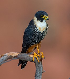 OFalco rufigularis Bat Falcon (cropped).jpg