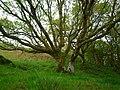 Oak tree (3568689976).jpg