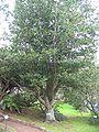 Ocotea foetens (Habitus).jpg
