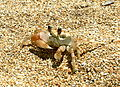 Ocypode cordimanus Kauai, Hawaii.jpg