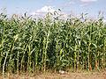 Odechow mazowieckie kukurydza (10).JPG