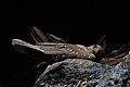 Oilbird 2015-06-06 (1) (38507564850).jpg