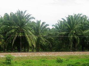 Elaeis oleifera - American Oil Palm (Elaeis oleifera)