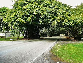 Old Cutler Road - Old Cutler Road as it passes through a tree tunnel in Coral Gables