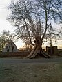 Old treeVaramin درخت کهنسال تو خالی - panoramio.jpg