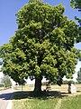 Old tree - Flickr - Stiller Beobachter.jpg