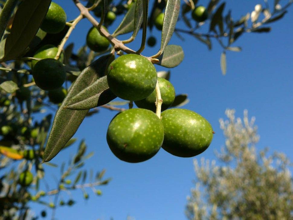 Olive z03