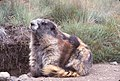 Olympic Marmot 02.jpg