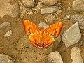 Open wing position of Chersonesia risa Doubleday, 1848 – Common Maplet.jpg