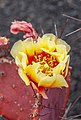 Opuntia macrocentra 02.jpg