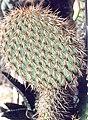 Opuntia pycnacantha.jpg