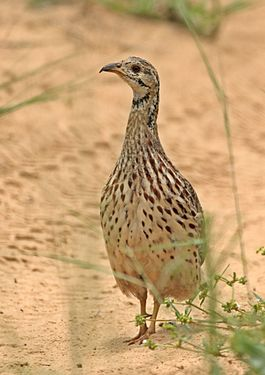 Orange River francolin, Scleroptila levaillantoides, at Khama Rhino Sanctuary, Botswana (32117354732).jpg